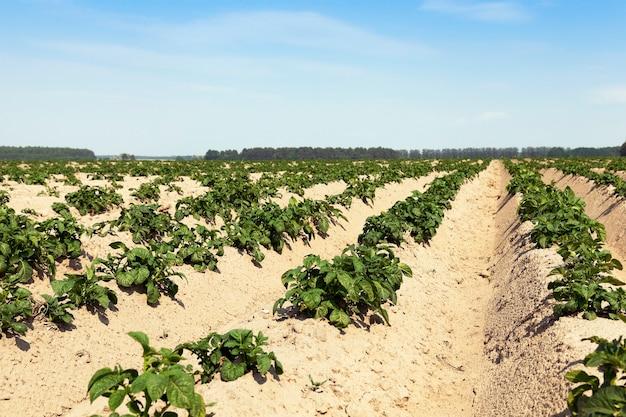 緑のジャガイモが育つ畝間、夏、青空の畑のジャガイモ