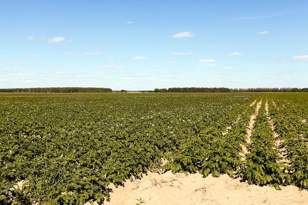 畑のじゃがいも-緑のじゃがいもが育つ畝間、夏、青空