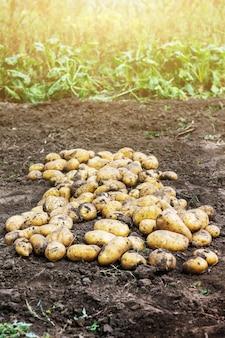 庭のジャガイモ。エリートジャガイモの品種の成長 Premium写真