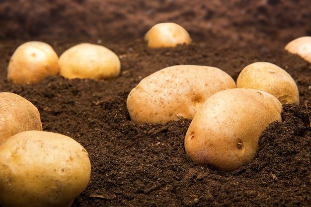 地面にジャガイモ