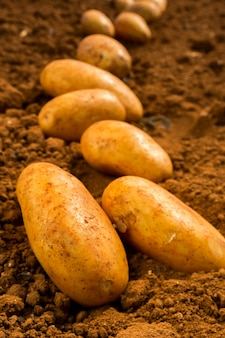 Картофель на суше