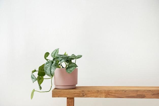 Растение потос в горшке на скамейке