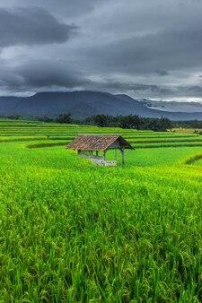 曇りと暗い景色を望む朝の緑の田んぼの肖像画