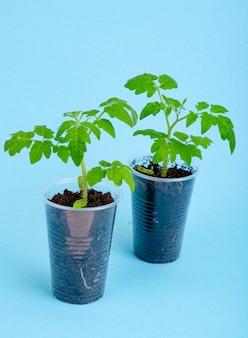 鉢、青にトマトの若い緑の苗が入った容器
