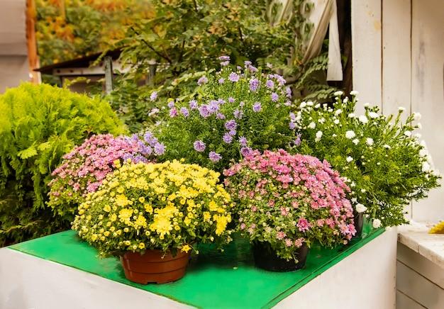 菊まつりのフラワーショップでは、秋の花が咲く鉢を販売しています。