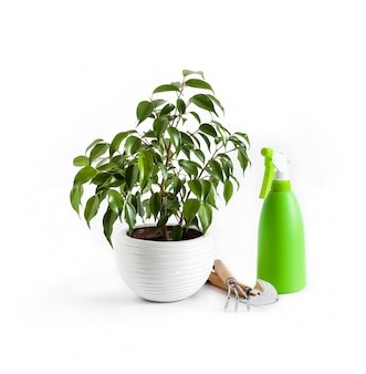 鉢植えのフィカスベンジャミン植物と白い背景の上の緑のスプレーボトル。観葉植物のケア