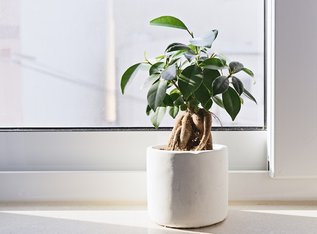 Potted ficus bonsai