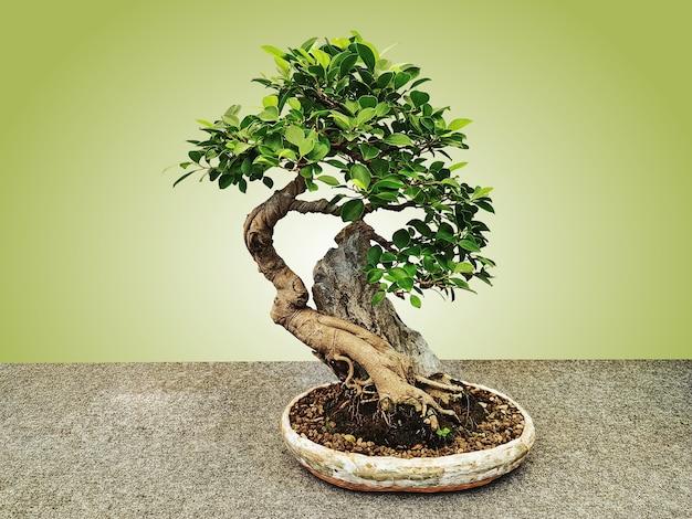 Японское дерево бонсай в горшке, изолированные на зеленом