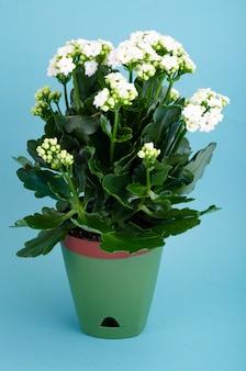 흰 꽃으로 피는 화분에 심은 kalanchoe 식물