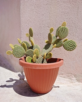 Potted opuntia cactus with new green leaves on balcony