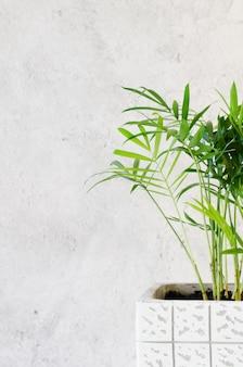 灰色のコンクリートの壁の近くの鉢植えの植物chamaedorea elegans。