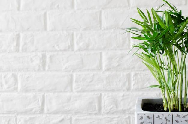 白いレンガの壁の近くの鉢植えの植物chamaedorea elegans。