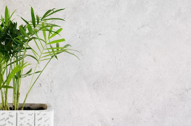 灰色のコンクリートの壁の近くの鉢植えの植物chamaedorea