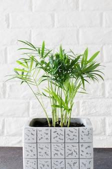 白いレンガの壁の近くの鉢植えの植物chamaedorea