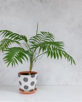 白い壁に白いテーブルに鉢植えの植物チャメドレア。コピースペース。スカンジナビアの内部フラグメント