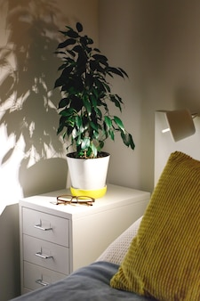 Potted plant ficus benjamina in a cozy bedroom on the bedside table at night. fragment of nightstand, yellow and blue pillows, lamp, white walls. scandinavian interior, houseplant concept