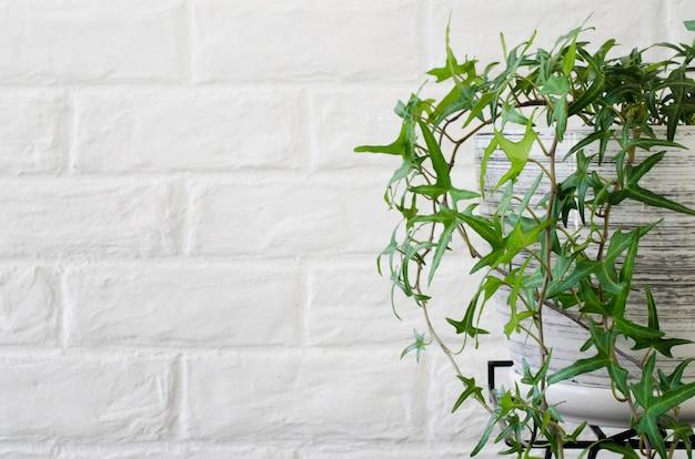 白いレンガの壁の近くの鉢植えのツタ。