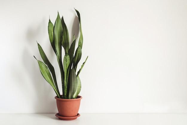 화분에 심은 식물 sansevieria는 흰색 벽에 흰색 테이블에 올려져 있습니다. 스칸디나비아 인테리어 조각입니다.