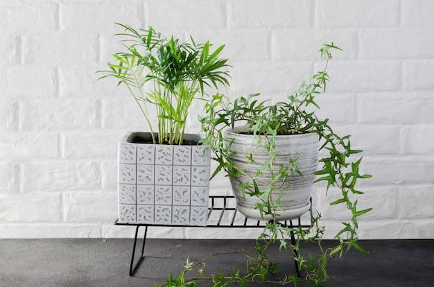 鉢植えの植物chamaedorea elegansと白いレンガの壁の近くのツタ。