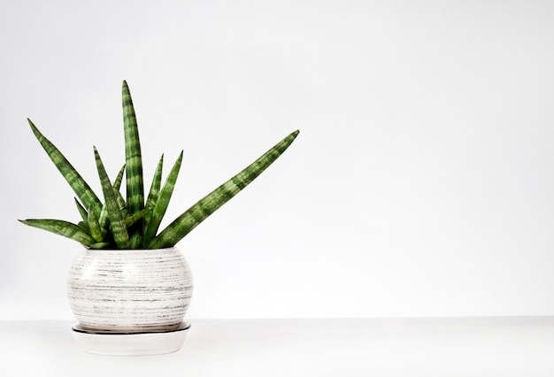 Potted sansevieria cylindrica var. patula (boncel) on a white wall