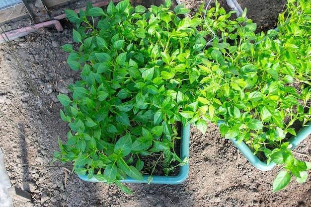 Горшечные саженцы, выращиваемые в горшках с биоразлагаемым торфяным мхом