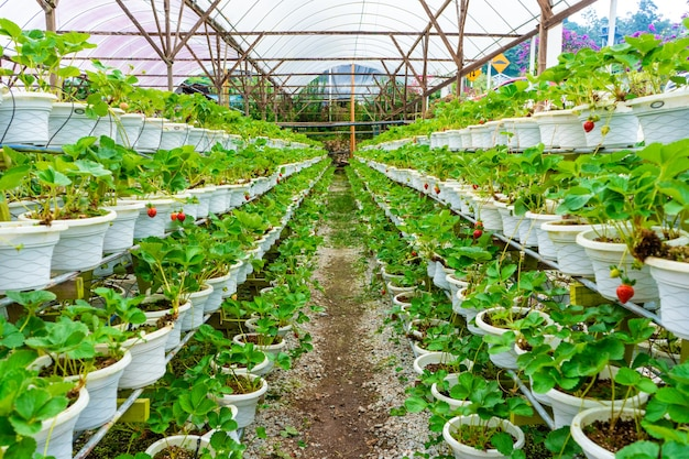 Potted shelves and irrigation system strawberry farm in malaysia.