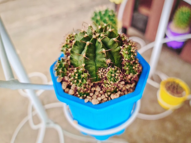 Potted succulent plant with red brown gravel stones in blue cup