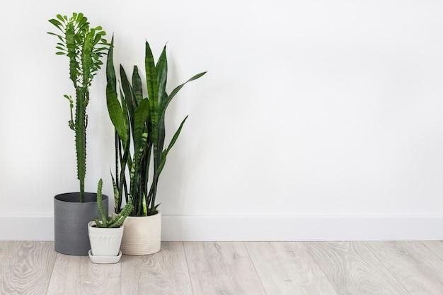 화분에 심은 다육식물(유포르비아 트리고나, 후에르니아, 산세베리아)은 흰 벽 바탕에 바닥에 머물고 있습니다. 복사 공간