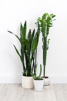 화분에 심은 다육식물(유포르비아 트리고나, 후에르니아, 산세베리아)은 흰 벽 바탕에 바닥에 머물고 있습니다.