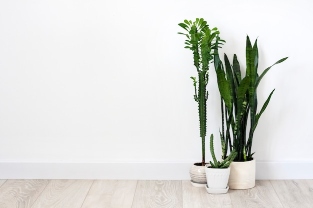 Potted succulents (euphorbia trigona, huernia and sansevieria) staying on the floor on white wall background. copy space