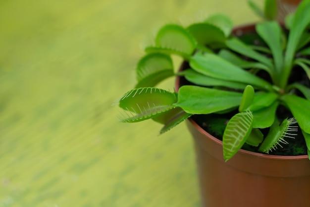 Венера мухоловка в горшке (dionaea muscipula) плотоядное растение крупным планом