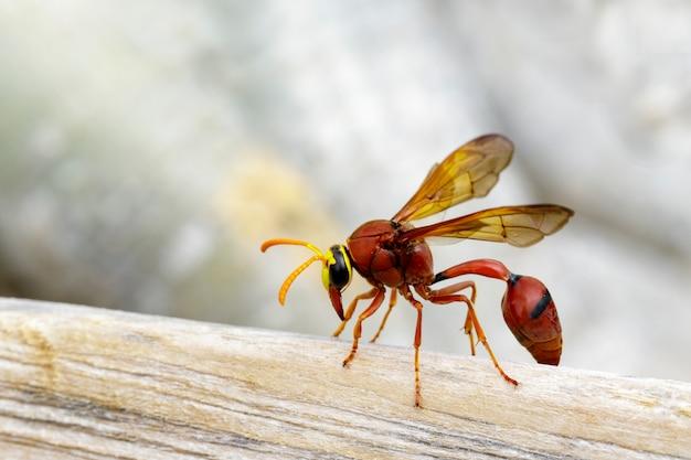 Оса гончарная (delta sp, eumeninae) на сухой древесине. насекомое животное