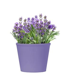 흰색 배경에 고립 된 라벤더 꽃의 도자기 보라색 냄비