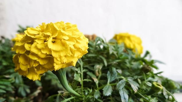 春の屋外で色とりどりの花を鉢植え。黄色いキンポウゲの花、植木鉢、晴れた春の日の庭、美しい屋外の花の背景、ソフトフォーカスで撮影。