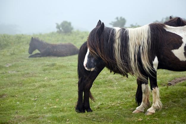 ポトック、茶色の斑点のある短い足の馬が牧草地で放牧している