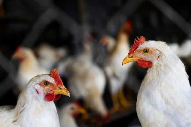 家禽のクローズアップ。工業農場の檻の中の柵の後ろの白い鶏。農業と畜産。