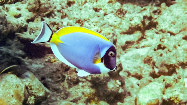 Powderblue surgeonfish in indian ocean, maldives.