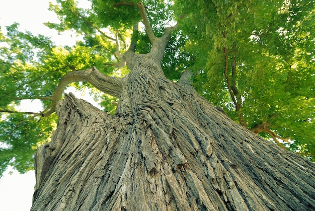 夏の強力な緑のニレの木