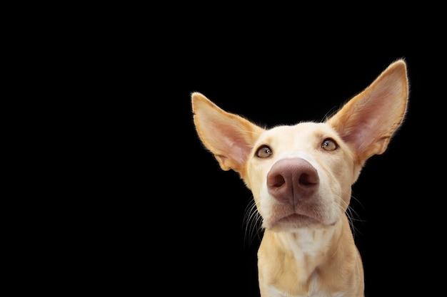 P портрет любопытной гончей собаки с большими ушами.