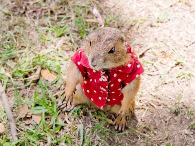 Prairie dog with red shirt abd necklace standing upright