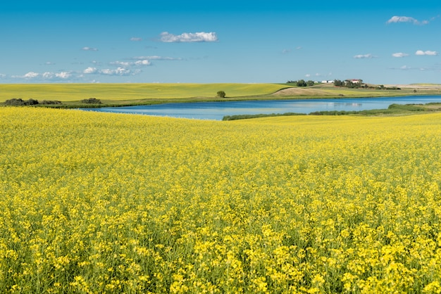 Prairie pond and yard on a hill surrounded by a canola field in bloom