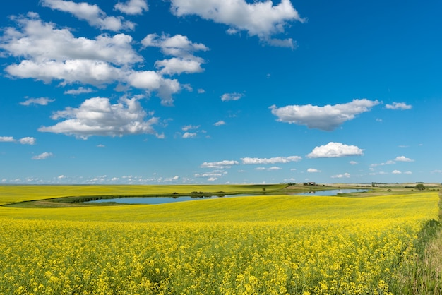 Prairie pond and yard on a hill surrounded by canola field