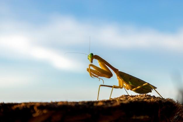 コピースペース、昆虫と背景の青い空とプロファイルでカマキリを祈る