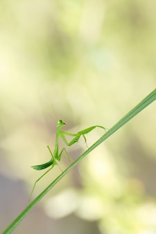 Praying mantis over a leaf