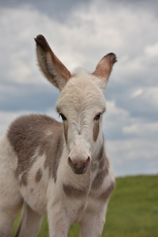 Precious look up into the face of a cute baby donkey in custer.