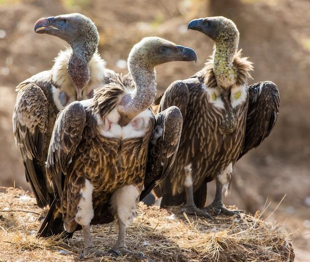 捕食性の鳥が地面に座っているケニアタンザニアサファリ東アフリカ