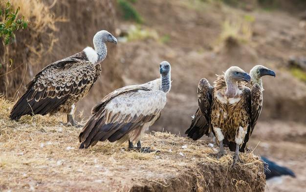 Хищные птицы сидят на земле кения танзания сафари восточная африка
