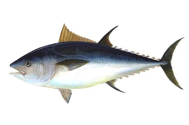 Predatory bigeye tuna thunnus fish obesus