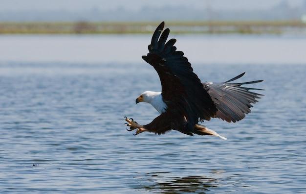 捕食性の鳥がケニアのタンザニアサファリ東アフリカを捕食するために飛ぶ