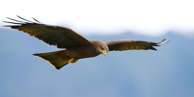 Хищная птица в полете кения танзания сафари восточная африка Premium Фотографии
